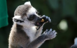 A Madagascar lemur is fed at the Spata zoo.