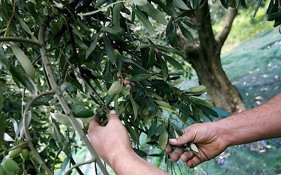 olives_gathering_web