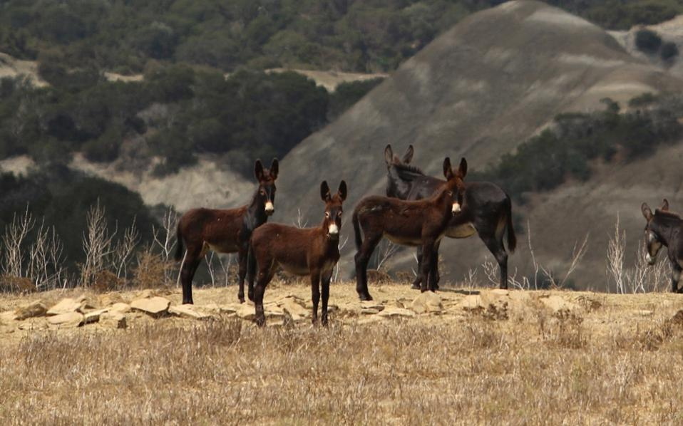 Wild donkeys are seen in Karpasia peninsula in occupied Cyprus, earlier this month. The donkeys have thrived in the more than four decades since the Turkish invasion.