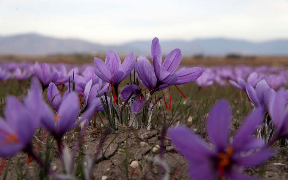 saffron_web