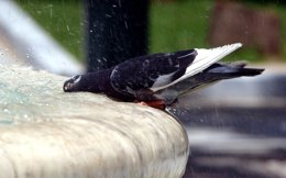 pigeon_water