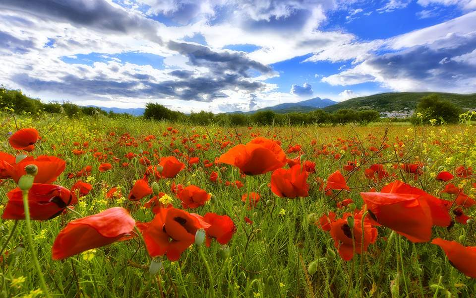 poppies_weather