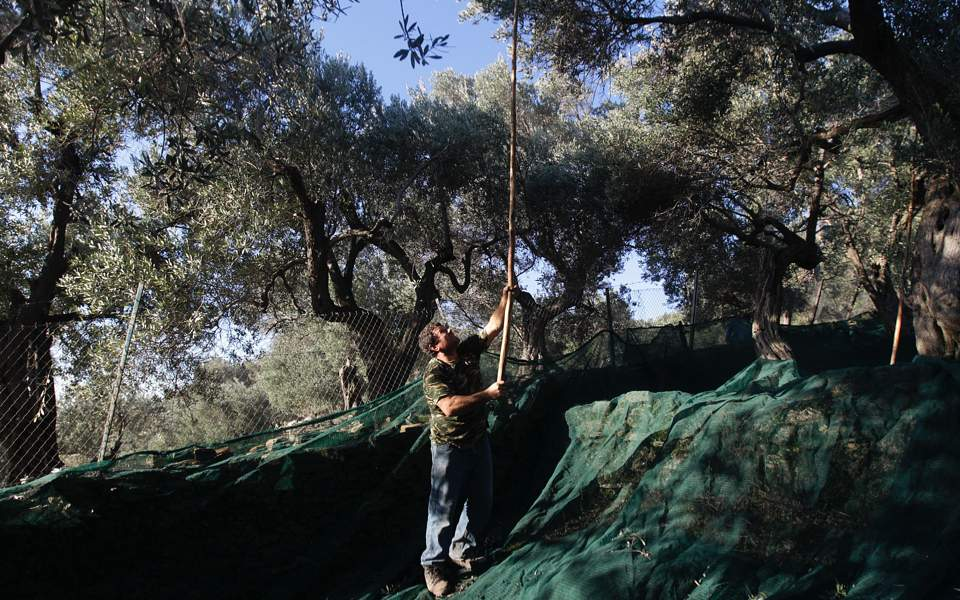 olive_tree_culling_web