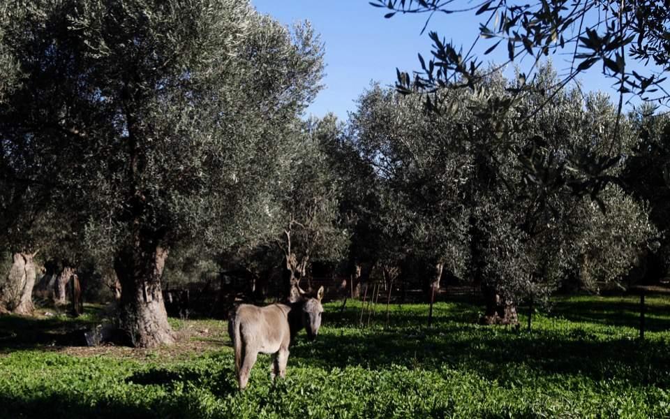 olives_donkey