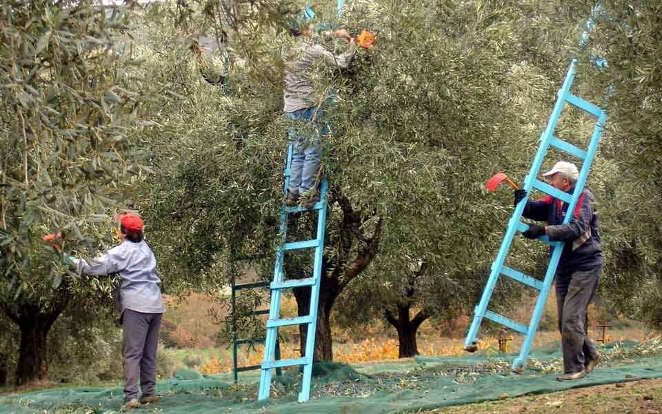 olive_harvest_web