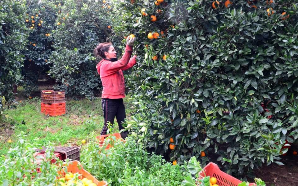 orange_picking_web