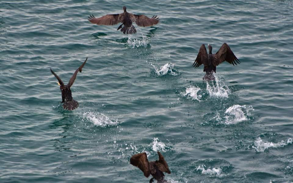 cormorants_web