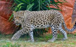 jaguar_web