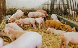 swine546546_1448425166-thumb-large