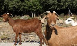goats_new