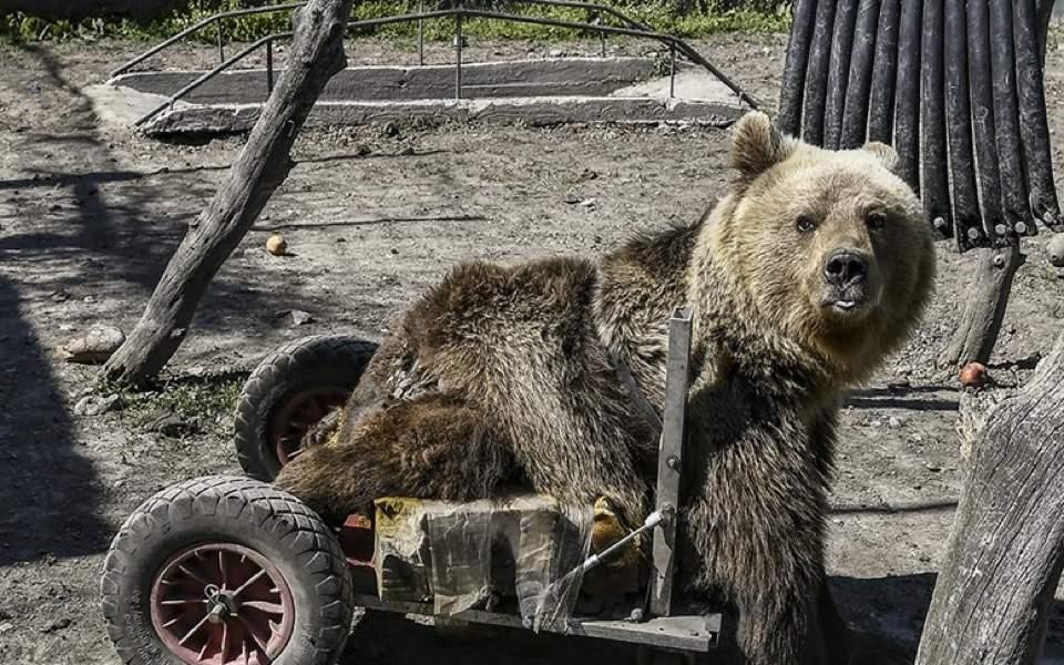 Paralyzed bear, Usko, dies