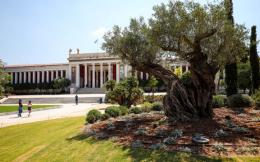 olive-tree-nam