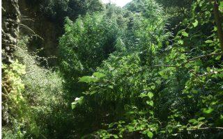 marijuana-plants-seized-on-crete-and-in-kozani