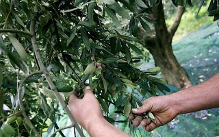 olive-oil-leads-greek-export-growth-in-june-while-imports-fall