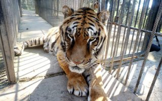 phevos-the-tiger-dies-in-california-after-health-decline
