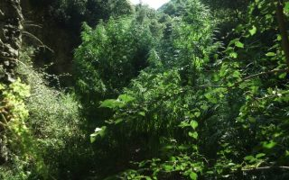 police-destroy-cannabis-plants-on-samothraki