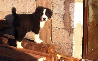 inroads-being-made-in-greek-sheepdog-breeding-program