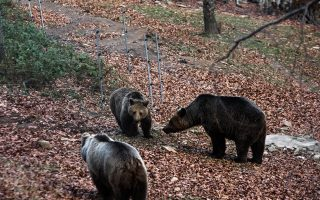 bear-found-dead-in-northern-greece-believed-poisoned
