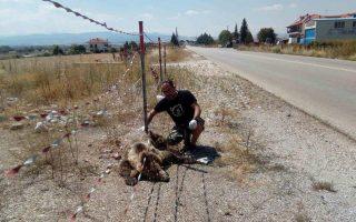 bear-killed-by-motorist-near-kastoria