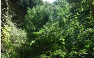 man-arrested-for-growing-cannabis-trees-in-forest-outside-patra