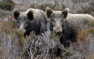 farmers-call-for-measures-to-control-destructive-wild-boars
