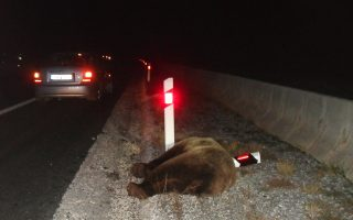 bear-deaths-on-egnatia-highway-prompt-calls-for-action