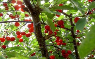 hailstorms-destroy-cherry-production-in-northern-greece