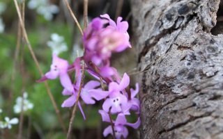 illegal-trade-putting-pindos-wild-orchids-at-risk-scientists-warn