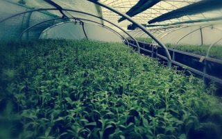 greece-amp-8217-s-first-stevia-sweetener-processing-plant-to-open-in-karditsa