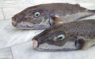 highly-toxic-invasive-fish-spreading-in-aegean-sea