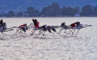 lead-shot-used-by-hunters-a-deadly-threat-for-flamingos-in-halkidiki
