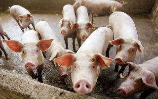 more-vets-to-be-hired-to-prevent-spread-of-swine-fever-from-balkans