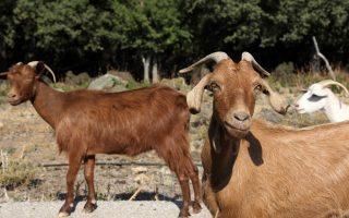 greek-island-of-samothraki-being-devastated-by-goats