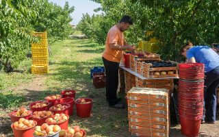 us-tariffs-to-hurt-peach-and-can-producers