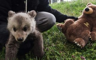 young-bear-returned-to-shelter-after-locals-start-feeding-it
