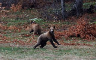 orphan-bears-released-into-the-wild-after-survival-training0