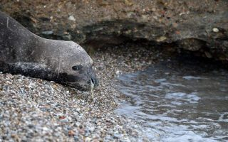 ngo-laments-suspicious-deaths-of-protected-seals