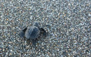 caretta-caretta-mating-more-in-absence-of-tourists