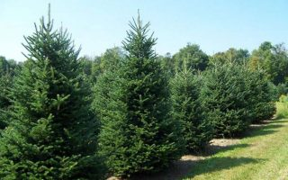 christmas-tree-suppliers-fear-season-may-be-lost