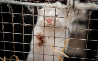 greece-finds-covid-19-among-mink-at-two-farms-says-ministry-official