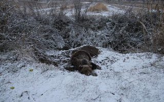 injured-bear-survives-four-days-caught-in-illegal-snare-in-prespes