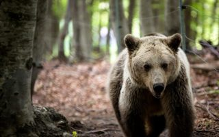bear-cubs-stray-into-town-of-kastoria-in-northern-greece