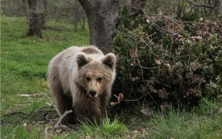 poisoned-bear-cub-found-dead-in-kastoria
