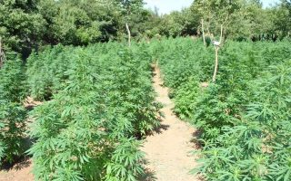 nearly-2-000-cannabis-trees-uprooted-on-farm-in-fthiotida