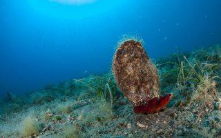 new-parasite-decimates-giant-clam-species-in-mediterranean