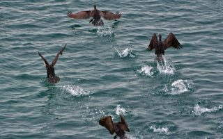 cormorants-in-migratory-mode-in-peloponnese