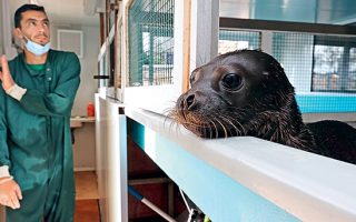 seal-pup-fighting-for-its-life-at-mom-conservation-society