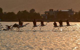 flamingo-migration-starts-gathering-pace
