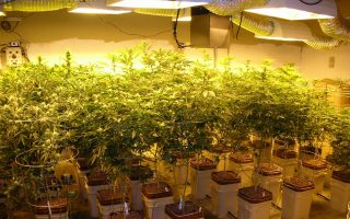 cannabis-nursery-discovered-in-lagonissi
