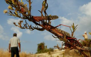 locusts-infest-western-lesvos